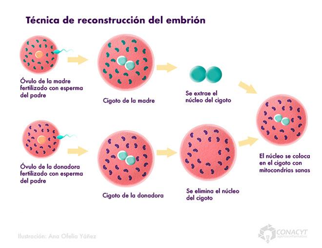 tecnicas reconstruccion embrion03